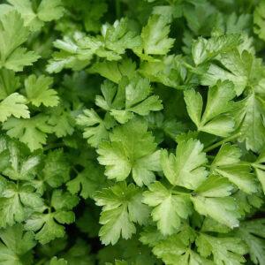 cilantro - producto - verduleria online